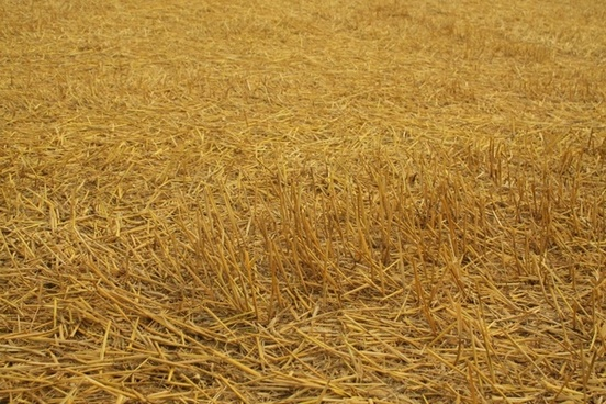 harvest field cereals