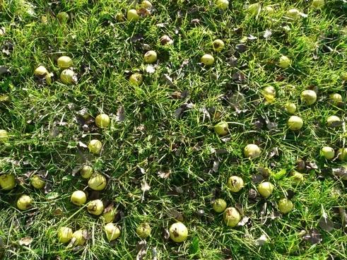 harvest fruit pears