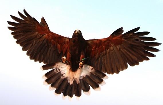 hawk bird prey