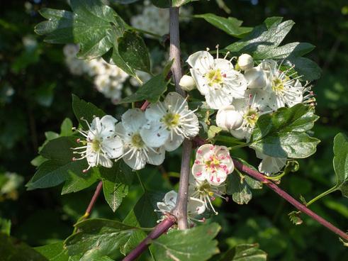 hawthorn in spring