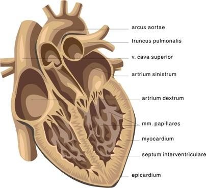 Heart Medical Diagram clip art