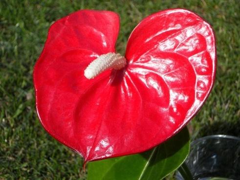 heart shape heart shaped flower