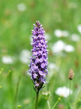 heath spotted orchid orchid flower