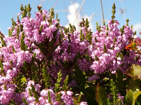 heather plant switches flower
