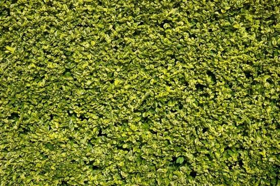 hedge green leaf