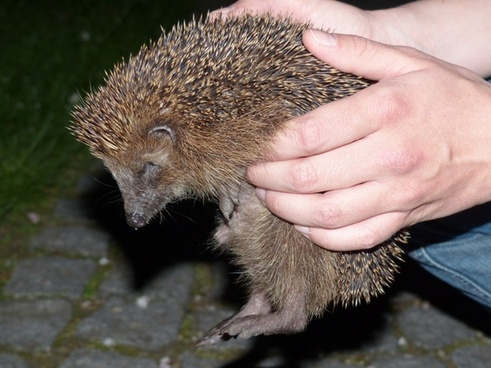 hedgehog animal prickly
