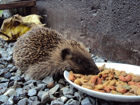 hedgehog food kibble