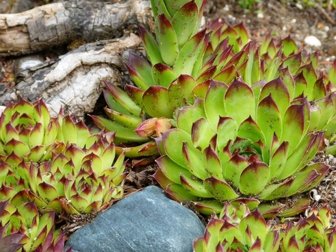 hens and chicks plant nature