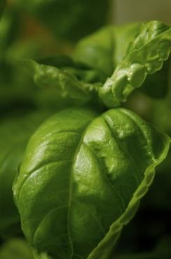 herbs basil green