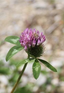 herbs weed klee