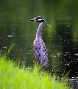 heron bird wildlife
