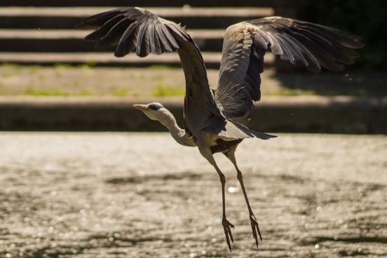 heron flies away