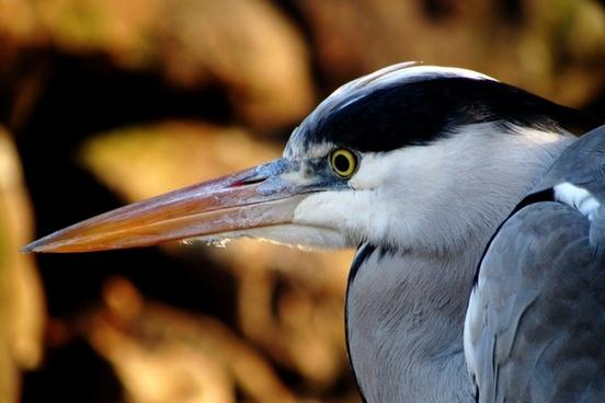 heron up close