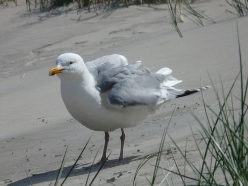 herring gull seagull fluffed up