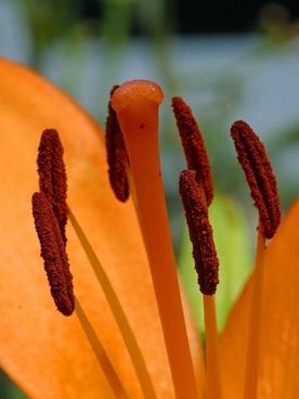hibiscus stamp flower