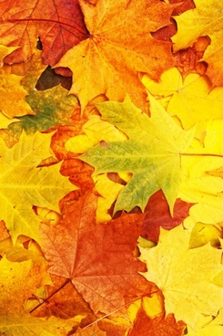 highdefinition picture of the beautiful maple leaf 01