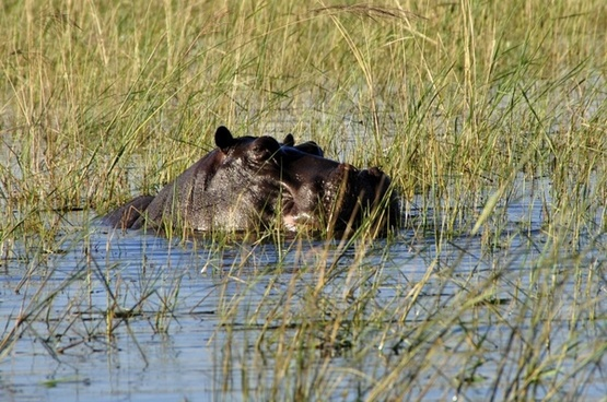 hippo hippopotamus river