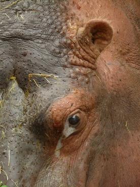 hippopotamus hippo paarhufer