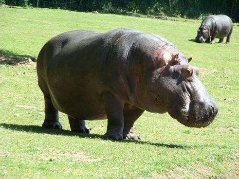 hippopotamus zoo hippopotamus amphibius
