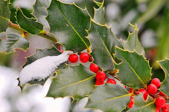 holly and snow