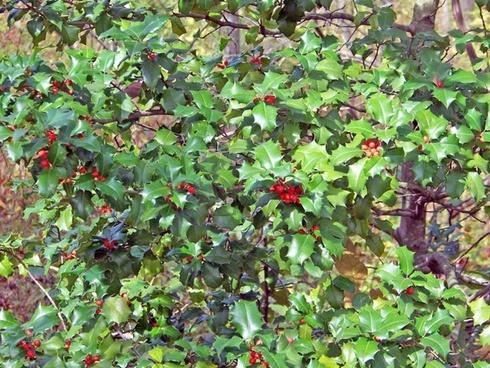holly bush