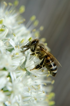 honey bee insects onion blossom
