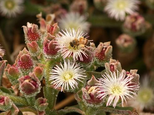 honey bee on ice plant
