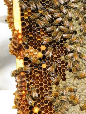 honey bees insect social insect