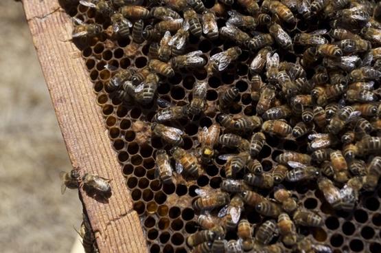honey honeybee honey jar