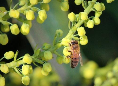 honeybee honey bee mahonia flowers