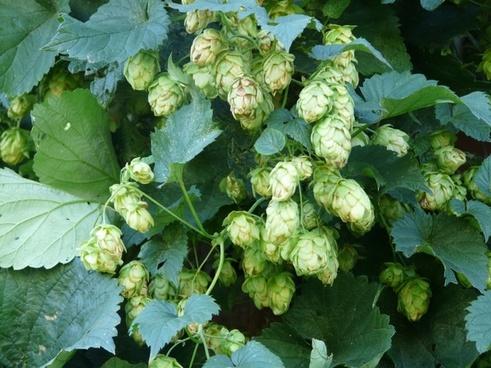 hops plant humulus