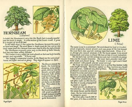 hornbeam and lime