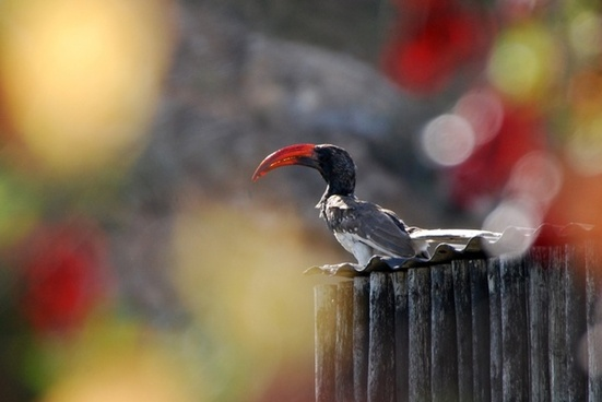 hornbill bird bill
