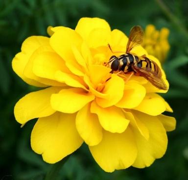 hornet wasp bee