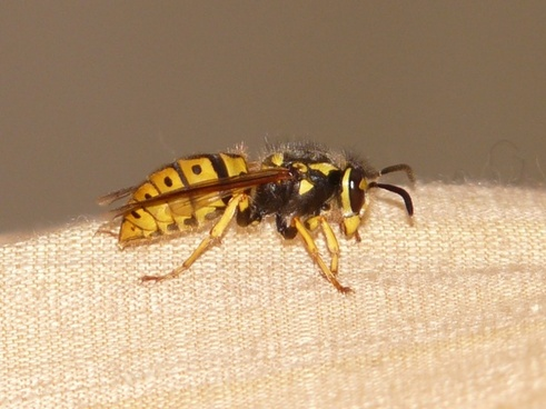 hornet wasp insect