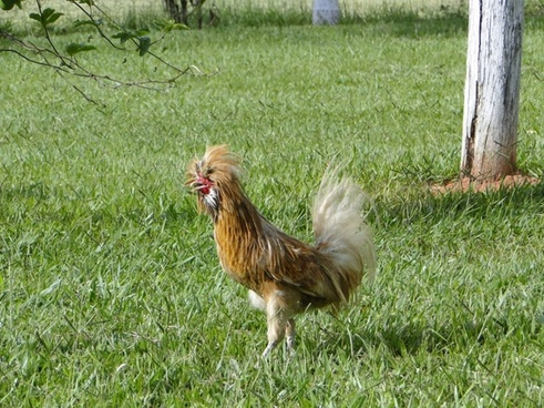 horrified rooster
