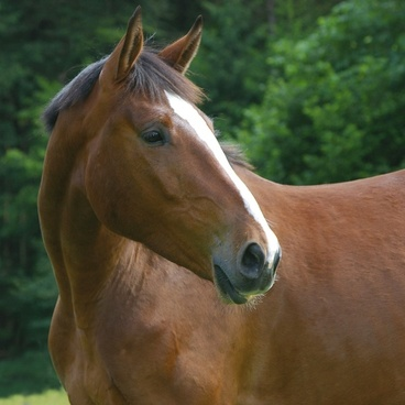 horse animal domestic solipeds