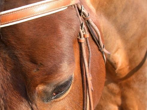 horse close-up eye