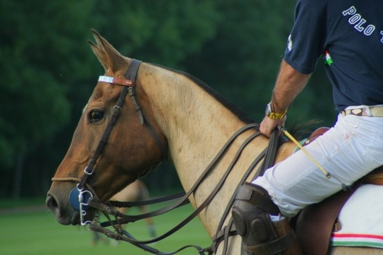 horse equine polo