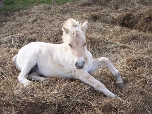 horse filly norwegian fjord horse