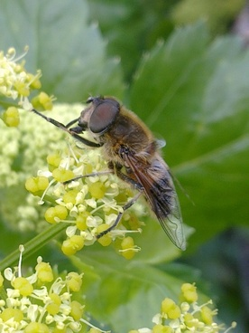 horsefly insects fly