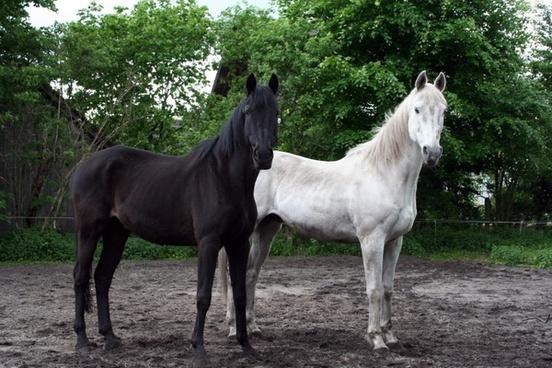 horses black white