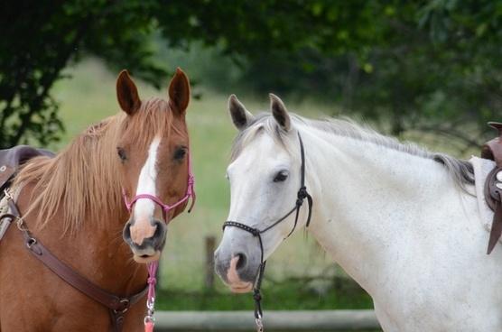 horses chestnut grey