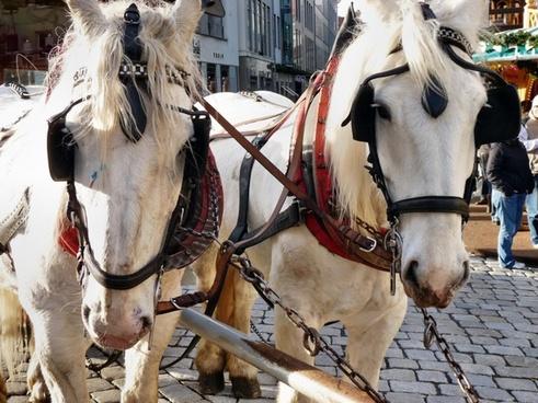 horses team white