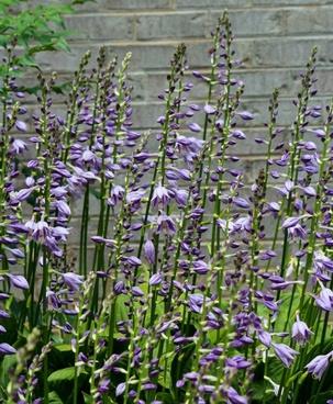 hosta flowers purple blossoms flower spikes