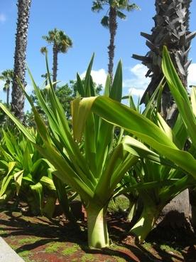 house palm yucca