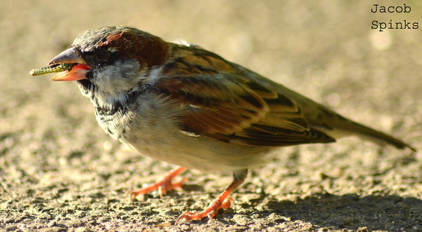 house sparrow eating grasshopper
