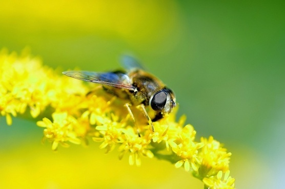hover fly insect close