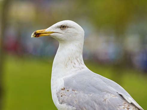 howth seagull
