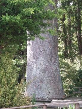 huge kauri trunk